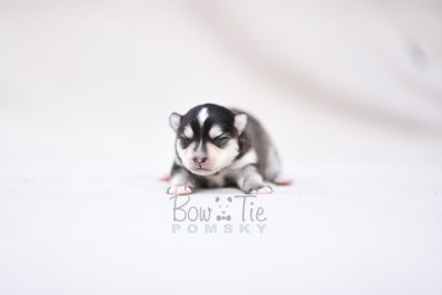 puppy7 BowTiePomsky.com Bowtie Pomsky Puppy For Sale Husky Pomeranian Mini Dog Spokane WA Breeder Blue Eyes Pomskies photo1