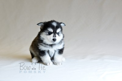 puppy7 BowTiePomsky.com Bowtie Pomsky Puppy For Sale Husky Pomeranian Mini Dog Spokane WA Breeder Blue Eyes Pomskies photo23