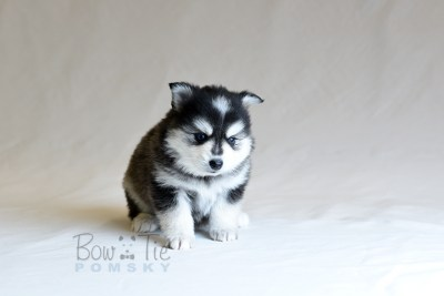 puppy7 BowTiePomsky.com Bowtie Pomsky Puppy For Sale Husky Pomeranian Mini Dog Spokane WA Breeder Blue Eyes Pomskies photo24