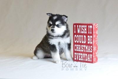 puppy7 BowTiePomsky.com Bowtie Pomsky Puppy For Sale Husky Pomeranian Mini Dog Spokane WA Breeder Blue Eyes Pomskies photo35