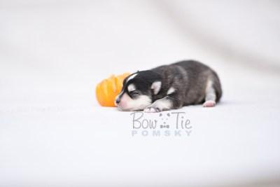 puppy7 BowTiePomsky.com Bowtie Pomsky Puppy For Sale Husky Pomeranian Mini Dog Spokane WA Breeder Blue Eyes Pomskies photo7