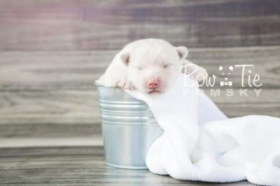 puppy7a BowTiePomsky.com Bowtie Pomsky Puppy For Sale Husky Pomeranian Mini Dog Spokane WA Breeder Blue Eyes Pomskies photo19