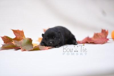 puppy8 BowTiePomsky.com Bowtie Pomsky Puppy For Sale Husky Pomeranian Mini Dog Spokane WA Breeder Blue Eyes Pomskies photo1
