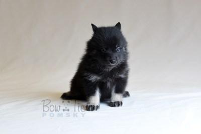 puppy8 BowTiePomsky.com Bowtie Pomsky Puppy For Sale Husky Pomeranian Mini Dog Spokane WA Breeder Blue Eyes Pomskies photo25