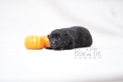 puppy8 BowTiePomsky.com Bowtie Pomsky Puppy For Sale Husky Pomeranian Mini Dog Spokane WA Breeder Blue Eyes Pomskies photo4