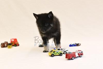 puppy8 BowTiePomsky.com Bowtie Pomsky Puppy For Sale Husky Pomeranian Mini Dog Spokane WA Breeder Blue Eyes Pomskies photo48