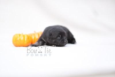 puppy8 BowTiePomsky.com Bowtie Pomsky Puppy For Sale Husky Pomeranian Mini Dog Spokane WA Breeder Blue Eyes Pomskies photo5