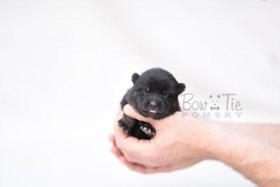 puppy8 BowTiePomsky.com Bowtie Pomsky Puppy For Sale Husky Pomeranian Mini Dog Spokane WA Breeder Blue Eyes Pomskies photo7