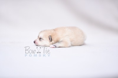 puppy9 BowTiePomsky.com Bowtie Pomsky Puppy For Sale Husky Pomeranian Mini Dog Spokane WA Breeder Blue Eyes Pomskies photo2