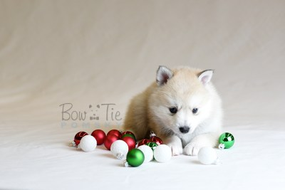 puppy9 BowTiePomsky.com Bowtie Pomsky Puppy For Sale Husky Pomeranian Mini Dog Spokane WA Breeder Blue Eyes Pomskies photo29