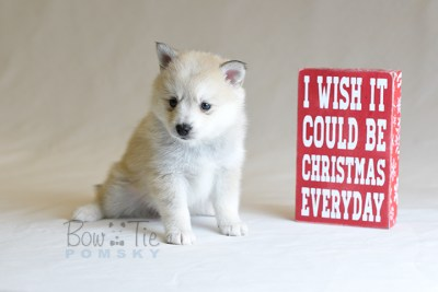 puppy9 BowTiePomsky.com Bowtie Pomsky Puppy For Sale Husky Pomeranian Mini Dog Spokane WA Breeder Blue Eyes Pomskies photo33