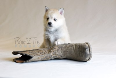 puppy9 BowTiePomsky.com Bowtie Pomsky Puppy For Sale Husky Pomeranian Mini Dog Spokane WA Breeder Blue Eyes Pomskies photo36