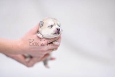 puppy9 BowTiePomsky.com Bowtie Pomsky Puppy For Sale Husky Pomeranian Mini Dog Spokane WA Breeder Blue Eyes Pomskies photo5