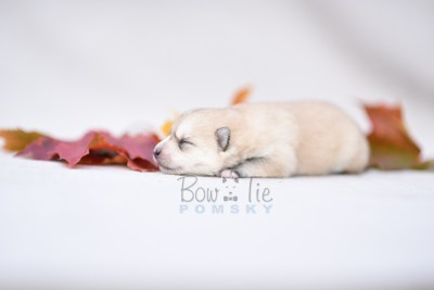 puppy9 BowTiePomsky.com Bowtie Pomsky Puppy For Sale Husky Pomeranian Mini Dog Spokane WA Breeder Blue Eyes Pomskies photo8