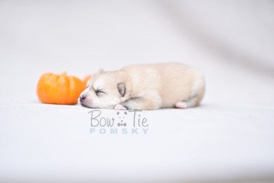 puppy9 BowTiePomsky.com Bowtie Pomsky Puppy For Sale Husky Pomeranian Mini Dog Spokane WA Breeder Blue Eyes Pomskies photo9