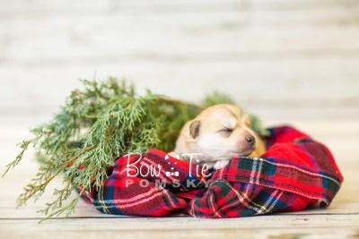 puppy37 week2 BowTiePomsky.com Bowtie Pomsky Puppy For Sale Husky Pomeranian Mini Dog Spokane WA Breeder Blue Eyes Pomskies BowTIePomsky_web-2909