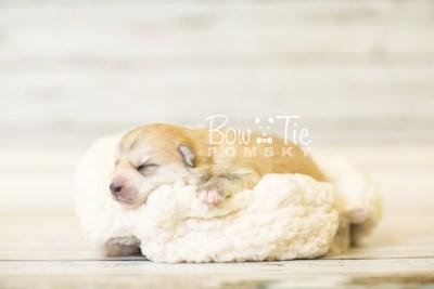 puppy37 week2 BowTiePomsky.com Bowtie Pomsky Puppy For Sale Husky Pomeranian Mini Dog Spokane WA Breeder Blue Eyes Pomskies BowTIePomsky_web-2912