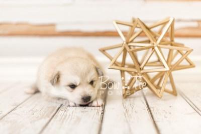 puppy37 week4 BowTiePomsky.com Bowtie Pomsky Puppy For Sale Husky Pomeranian Mini Dog Spokane WA Breeder Blue Eyes Pomskies web3