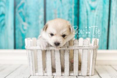 puppy37 week4 BowTiePomsky.com Bowtie Pomsky Puppy For Sale Husky Pomeranian Mini Dog Spokane WA Breeder Blue Eyes Pomskies web4