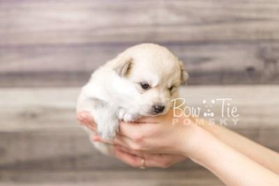 puppy37 week4 BowTiePomsky.com Bowtie Pomsky Puppy For Sale Husky Pomeranian Mini Dog Spokane WA Breeder Blue Eyes Pomskies web6