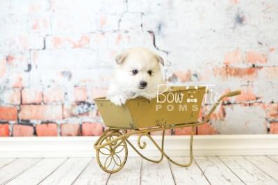 puppy37 week6 BowTiePomsky.com Bowtie Pomsky Puppy For Sale Husky Pomeranian Mini Dog Spokane WA Breeder Blue Eyes Pomskies web2