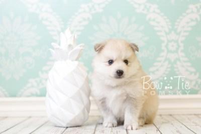 puppy37 week6 BowTiePomsky.com Bowtie Pomsky Puppy For Sale Husky Pomeranian Mini Dog Spokane WA Breeder Blue Eyes Pomskies web4