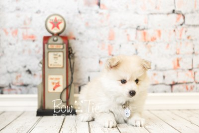 puppy37 week8 BowTiePomsky.com Bowtie Pomsky Puppy For Sale Husky Pomeranian Mini Dog Spokane WA Breeder Blue Eyes Pomskies web2