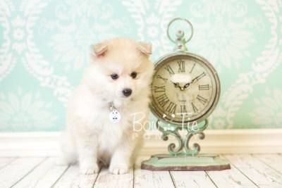 puppy37 week8 BowTiePomsky.com Bowtie Pomsky Puppy For Sale Husky Pomeranian Mini Dog Spokane WA Breeder Blue Eyes Pomskies web5