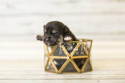 puppy38 week2 BowTiePomsky.com Bowtie Pomsky Puppy For Sale Husky Pomeranian Mini Dog Spokane WA Breeder Blue Eyes Pomskies BowTIePomsky_web-2953