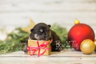 puppy38 week2 BowTiePomsky.com Bowtie Pomsky Puppy For Sale Husky Pomeranian Mini Dog Spokane WA Breeder Blue Eyes Pomskies BowTIePomsky_web-2968