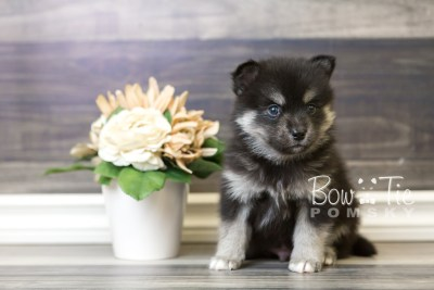 puppy38 week6 BowTiePomsky.com Bowtie Pomsky Puppy For Sale Husky Pomeranian Mini Dog Spokane WA Breeder Blue Eyes Pomskies web2