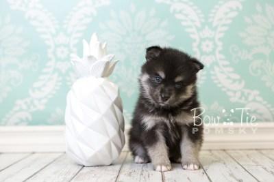puppy38 week6 BowTiePomsky.com Bowtie Pomsky Puppy For Sale Husky Pomeranian Mini Dog Spokane WA Breeder Blue Eyes Pomskies web4