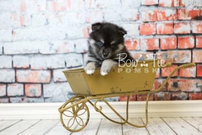 puppy38 week6 BowTiePomsky.com Bowtie Pomsky Puppy For Sale Husky Pomeranian Mini Dog Spokane WA Breeder Blue Eyes Pomskies web5