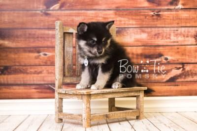 puppy38 week8 BowTiePomsky.com Bowtie Pomsky Puppy For Sale Husky Pomeranian Mini Dog Spokane WA Breeder Blue Eyes Pomskies web4