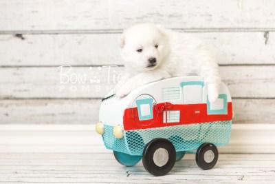 puppy39 week4 BowTiePomsky.com Bowtie Pomsky Puppy For Sale Husky Pomeranian Mini Dog Spokane WA Breeder Blue Eyes Pomskies web2