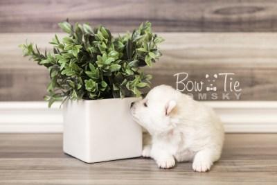 puppy39 week4 BowTiePomsky.com Bowtie Pomsky Puppy For Sale Husky Pomeranian Mini Dog Spokane WA Breeder Blue Eyes Pomskies web5