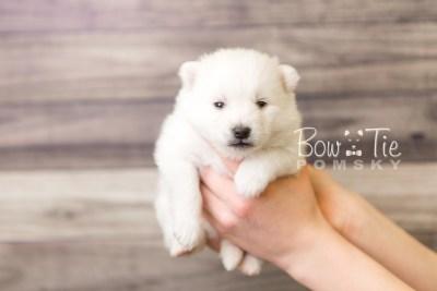 puppy39 week4 BowTiePomsky.com Bowtie Pomsky Puppy For Sale Husky Pomeranian Mini Dog Spokane WA Breeder Blue Eyes Pomskies web6