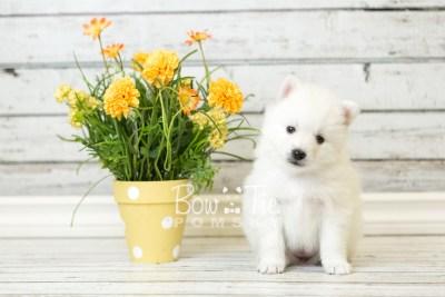 puppy39 week6 BowTiePomsky.com Bowtie Pomsky Puppy For Sale Husky Pomeranian Mini Dog Spokane WA Breeder Blue Eyes Pomskies web4