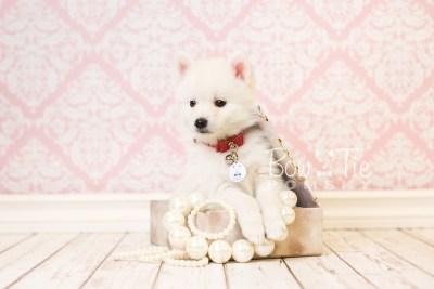 puppy39 week8 BowTiePomsky.com Bowtie Pomsky Puppy For Sale Husky Pomeranian Mini Dog Spokane WA Breeder Blue Eyes Pomskies web2