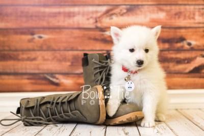 puppy39 week8 BowTiePomsky.com Bowtie Pomsky Puppy For Sale Husky Pomeranian Mini Dog Spokane WA Breeder Blue Eyes Pomskies web5