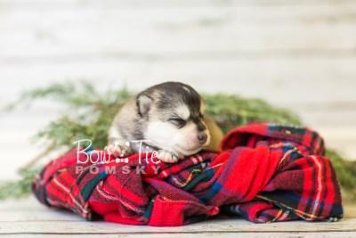 puppy40 week2 BowTiePomsky.com Bowtie Pomsky Puppy For Sale Husky Pomeranian Mini Dog Spokane WA Breeder Blue Eyes Pomskies BowTIePomsky_web-3008