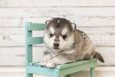 puppy40 week4 BowTiePomsky.com Bowtie Pomsky Puppy For Sale Husky Pomeranian Mini Dog Spokane WA Breeder Blue Eyes Pomskies web1