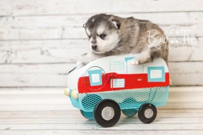 puppy40 week4 BowTiePomsky.com Bowtie Pomsky Puppy For Sale Husky Pomeranian Mini Dog Spokane WA Breeder Blue Eyes Pomskies web2