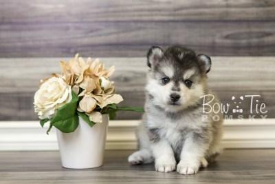 puppy40 week6 BowTiePomsky.com Bowtie Pomsky Puppy For Sale Husky Pomeranian Mini Dog Spokane WA Breeder Blue Eyes Pomskies web3