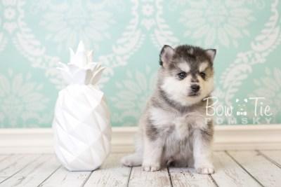 puppy40 week6 BowTiePomsky.com Bowtie Pomsky Puppy For Sale Husky Pomeranian Mini Dog Spokane WA Breeder Blue Eyes Pomskies web4