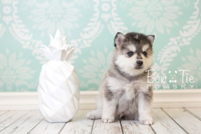 puppy40 week6 BowTiePomsky.com Bowtie Pomsky Puppy For Sale Husky Pomeranian Mini Dog Spokane WA Breeder Blue Eyes Pomskies web4