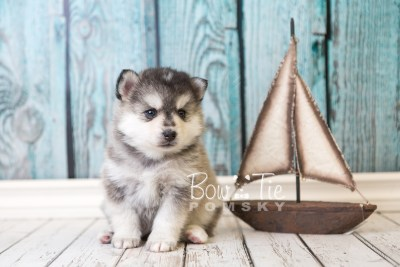 puppy40 week6 BowTiePomsky.com Bowtie Pomsky Puppy For Sale Husky Pomeranian Mini Dog Spokane WA Breeder Blue Eyes Pomskies web6