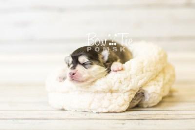puppy41 week1 BowTiePomsky.com Bowtie Pomsky Puppy For Sale Husky Pomeranian Mini Dog Spokane WA Breeder Blue Eyes Pomskies BowTIePomsky_web-3063