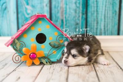 puppy41 week4 BowTiePomsky.com Bowtie Pomsky Puppy For Sale Husky Pomeranian Mini Dog Spokane WA Breeder Blue Eyes Pomskies web1
