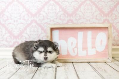 puppy41 week6 BowTiePomsky.com Bowtie Pomsky Puppy For Sale Husky Pomeranian Mini Dog Spokane WA Breeder Blue Eyes Pomskies web2